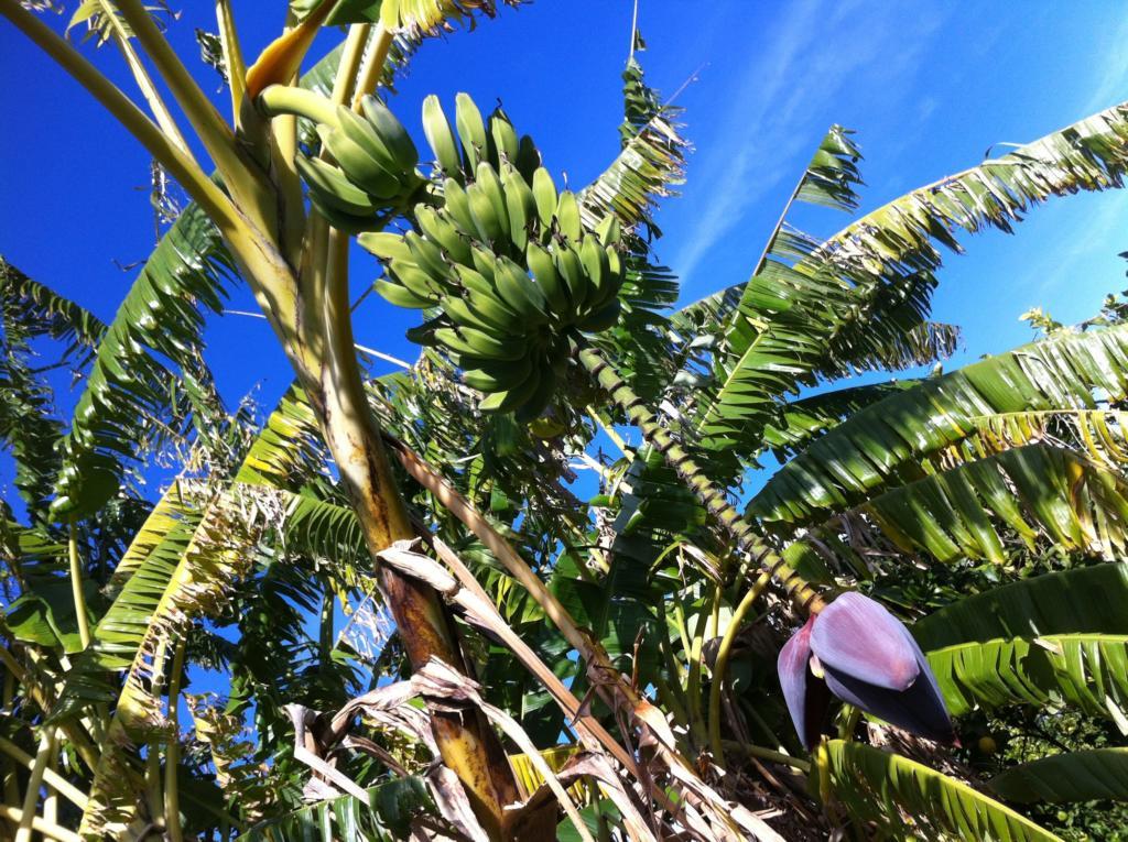 banano-terreno-giarre